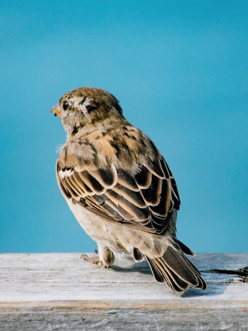 NZ Sparrows